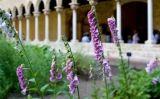 Mostra de les plantes presents al jardí del claustre del monestir de Pedralbes