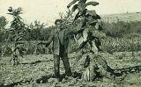 Plantació a Fondarella, un dels principals centres productors de caliquenyos del Ponent Català