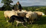 Un pastor amb el seu ramat d'ovelles