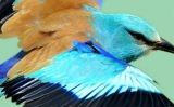 Gaig blau