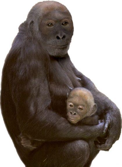 Reproducció d'un adult i una cria de 'Paus' feta a partir de les restes trobades el 4 de desembre del 2002 al barranc de Can Vila, a l'abocador