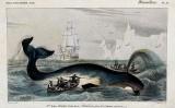 Caça amb arpons d'una balena a l'Àrtic